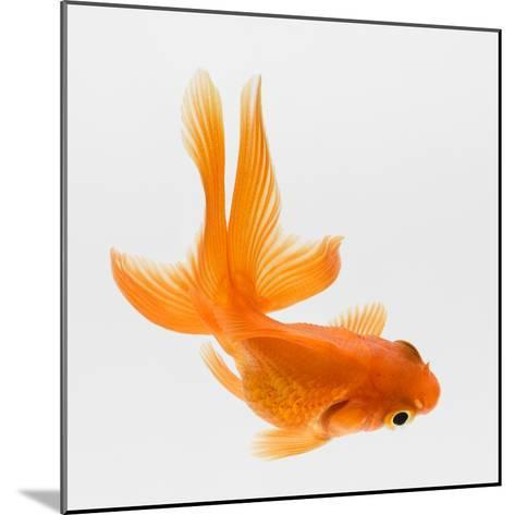 Fantail Goldfish (Carassius Auratus), Elevated View-Don Farrall-Mounted Photographic Print