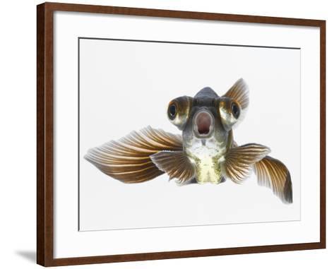 Black Moor Goldfish (Carassius Auratus)-Don Farrall-Framed Art Print
