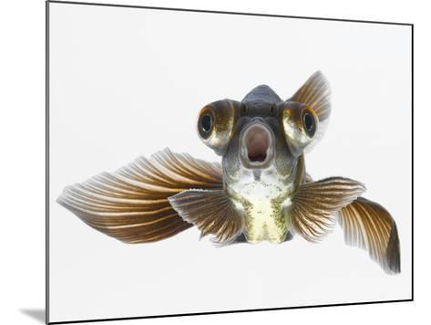 Black Moor Goldfish (Carassius Auratus)-Don Farrall-Mounted Photographic Print