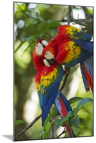 Scarlet Macaws, Costa Rica-Paul Souders-Mounted Photographic Print