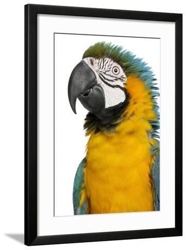 Blue and Yellow Macaw, Ara Ararauna-Life on White-Framed Art Print