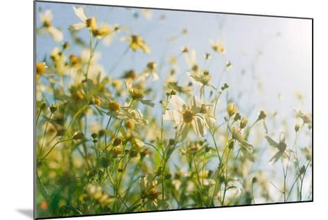 Cosmos Flowers-Jill Ferry-Mounted Photographic Print