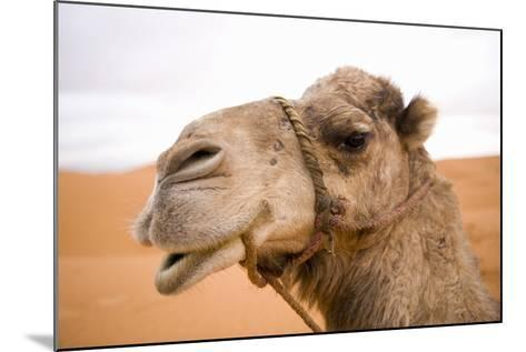 Portait of a North African Camel (Camelus Dromedarius) Morocco, North Africa-Ben Queenborough-Mounted Photographic Print