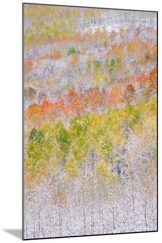 A Forest of Aspen Trees in the Wasatch Mountains, with Striking Yellow and Red Autumn Foliage. Snow-Mint Images - David Schultz-Mounted Photographic Print