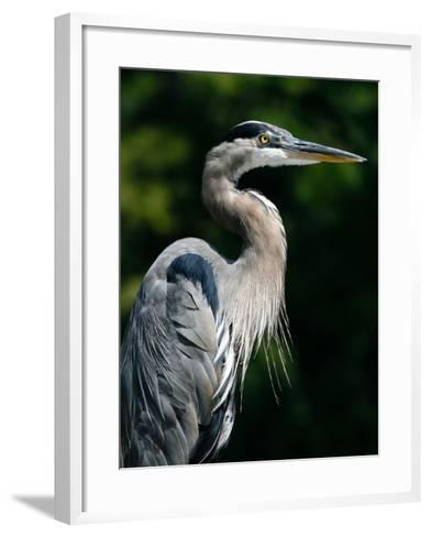 Great Blue Heron-Bill Swindaman-Framed Art Print