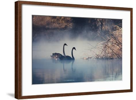 Swans on Misty Lake Tarawera, New Zealand-Elaine W Zhao-Framed Art Print
