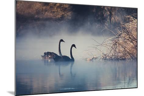 Swans on Misty Lake Tarawera, New Zealand-Elaine W Zhao-Mounted Photographic Print