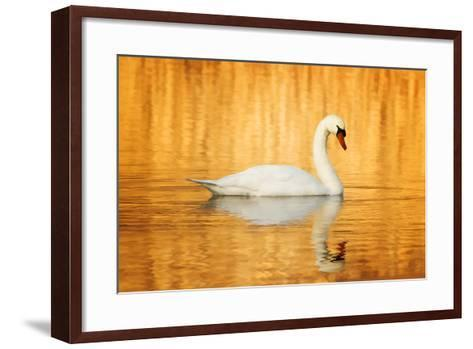 Swam Swimming in Water-Jody Trappe Photography-Framed Art Print