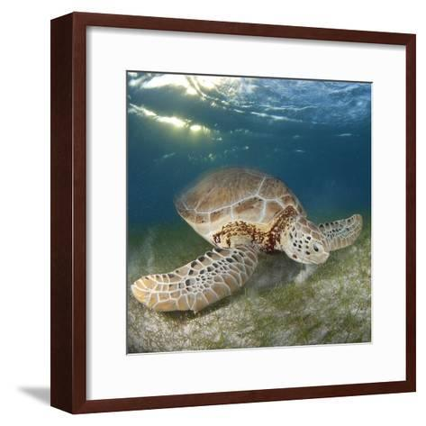 Green Sea Turtle-Luis Javier Sandoval-Framed Art Print