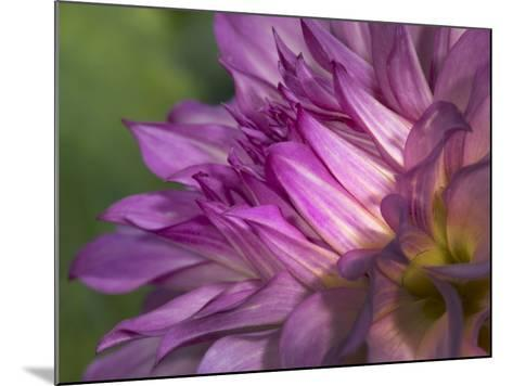 Dahlia close Up-Russell Burden-Mounted Photographic Print