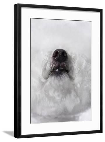 Bichon Frise Dog Nose Surrounded by White Fur-Apple Tree House-Framed Art Print