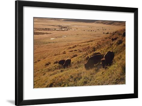 Sunrise on Bison (Bison Bison) Grazing on Hillside-Design Pics / David Ponton-Framed Art Print