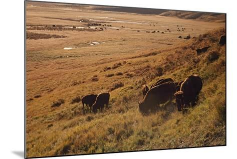 Sunrise on Bison (Bison Bison) Grazing on Hillside-Design Pics / David Ponton-Mounted Photographic Print