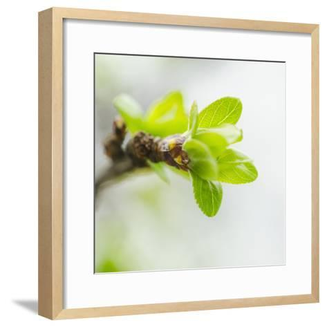 Usa, New York, New York City, close up of Green Buds Ad Leaves on Branch-Tetra Images-Framed Art Print