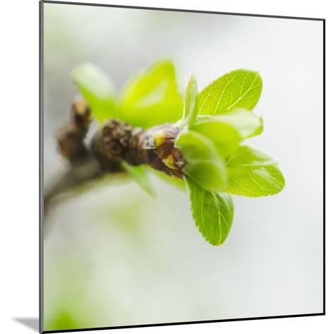 Usa, New York, New York City, close up of Green Buds Ad Leaves on Branch-Tetra Images-Mounted Photographic Print