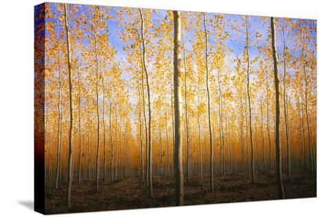 Mystery Trees in Autumn, Boardman Tree Farm, Oregon-Vincent James-Stretched Canvas Print