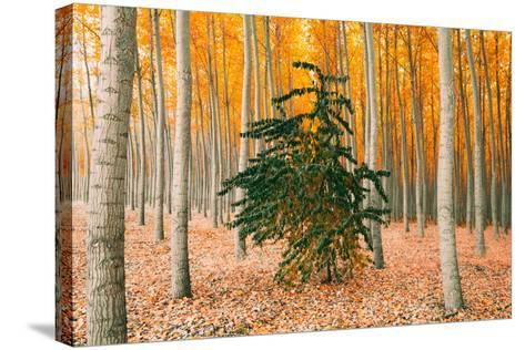Do Your Own Thing, Northern Oregon Trees in Autumn-Vincent James-Stretched Canvas Print