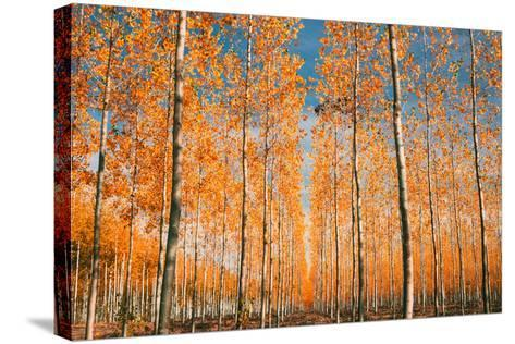 Trees of Mystery, Forest in Autumn, Northern Oregon-Vincent James-Stretched Canvas Print