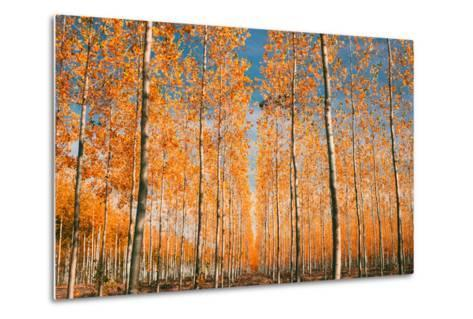 Trees of Mystery, Forest in Autumn, Northern Oregon-Vincent James-Metal Print