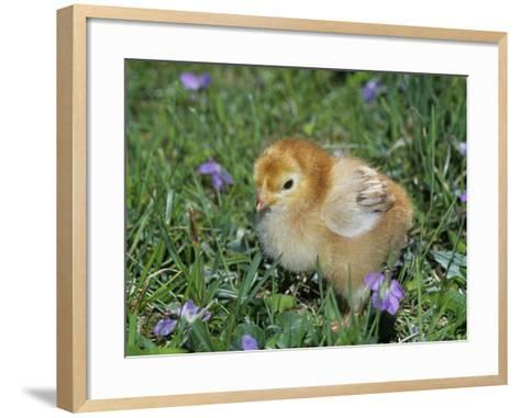 Rhode Island Red Chick, Gallus Domesticus, USA-Gay Bumgarner-Framed Art Print