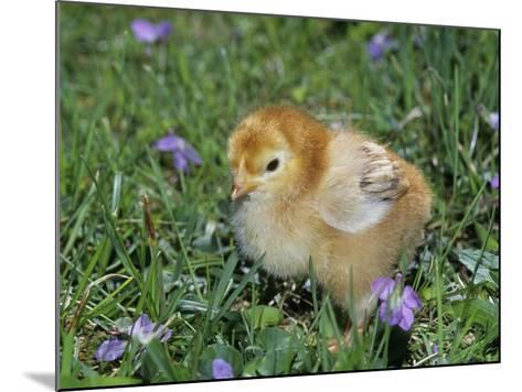 Rhode Island Red Chick, Gallus Domesticus, USA-Gay Bumgarner-Mounted Photographic Print
