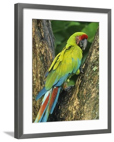 Great Green Macaw (Ara Ambigua), Costa Rica, Central America-Kent Foster-Framed Art Print