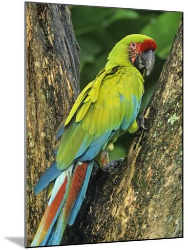 Great Green Macaw (Ara Ambigua), Costa Rica, Central America-Kent Foster-Mounted Photographic Print