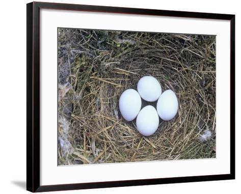 Eastern Phoebe Nest with Four Eggs (Sayornis Phoebe), Eastern North America-Wally Eberhart-Framed Art Print
