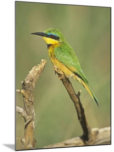 Little Bee Eater, Merops Pusillus, Nairobi National Park, Kenya, Africa-Adam Jones-Mounted Photographic Print