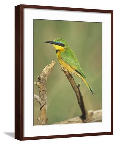 Little Bee Eater, Merops Pusillus, Nairobi National Park, Kenya, Africa-Adam Jones-Framed Art Print
