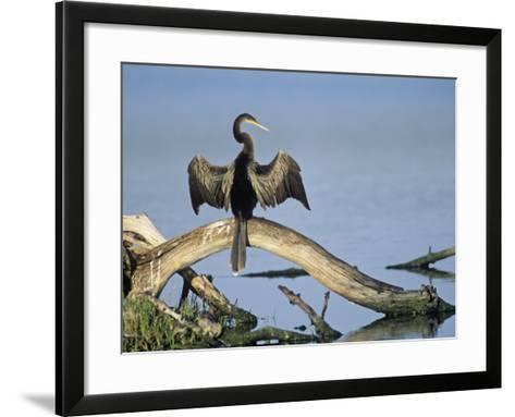 Anhinga (Anhinga Anhinga) Drying its Wings, Ding Darling National Wildlife Refuge, Florida, USA-Adam Jones-Framed Art Print