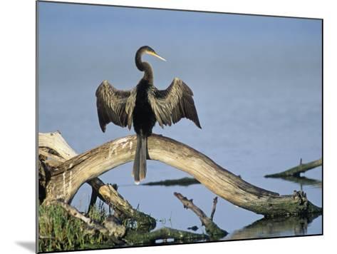 Anhinga (Anhinga Anhinga) Drying its Wings, Ding Darling National Wildlife Refuge, Florida, USA-Adam Jones-Mounted Photographic Print