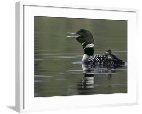 Common Loon (Gavia Immer)Calling with a Chick Riding on its Back Kamloops, British Columbia, Canada-Arthur Morris-Framed Art Print