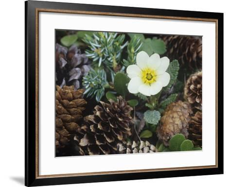 Mountain Avens, Dryas Octopetala, an Arctic and Alpine Tundra Wildflower, North America-Adam Jones-Framed Art Print