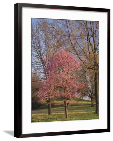 Eastern Redbud Tree, Cercis Canadensis, in Full Bloom, Eastern North America-Adam Jones-Framed Art Print