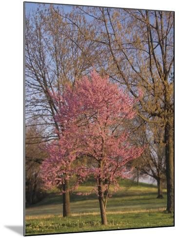 Eastern Redbud Tree, Cercis Canadensis, in Full Bloom, Eastern North America-Adam Jones-Mounted Photographic Print