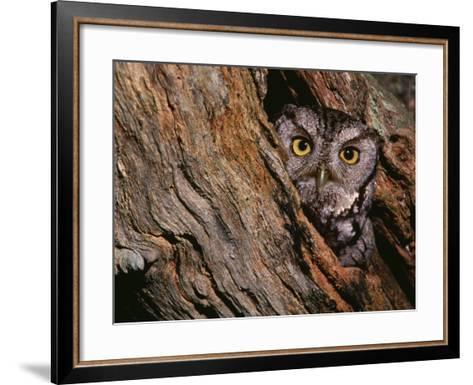 Eastern Screech Owl, Otus Asio, North America-Charles Melton-Framed Art Print