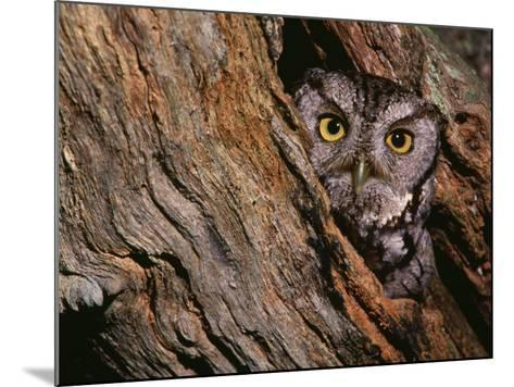 Eastern Screech Owl, Otus Asio, North America-Charles Melton-Mounted Photographic Print