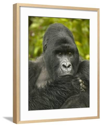 Mountain Gorilla, Gorilla Gorilla Beringei, Volcanoes National Park, Rwanda, Africa-Joe McDonald-Framed Art Print