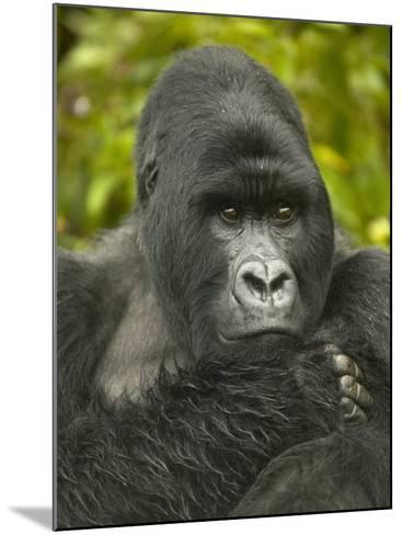 Mountain Gorilla, Gorilla Gorilla Beringei, Volcanoes National Park, Rwanda, Africa-Joe McDonald-Mounted Photographic Print