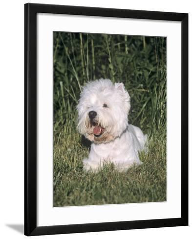 West Highland White Terrier Variety of Domestic Dog-Cheryl Ertelt-Framed Art Print