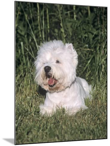 West Highland White Terrier Variety of Domestic Dog-Cheryl Ertelt-Mounted Photographic Print