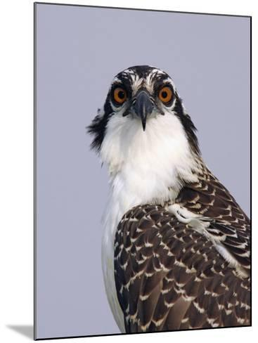 Osprey (Pandion Haliaetus), North America-Arthur Morris-Mounted Photographic Print