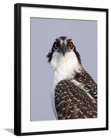 Osprey (Pandion Haliaetus), North America-Arthur Morris-Framed Art Print