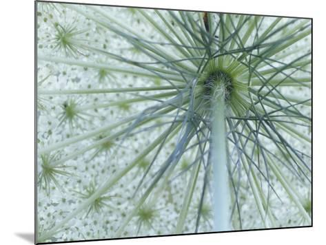 Queen Anne's Lace or Wild Carrot Flower Viewed from Below, Daucus Carota, North America-Adam Jones-Mounted Photographic Print