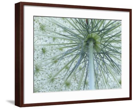 Queen Anne's Lace or Wild Carrot Flower Viewed from Below, Daucus Carota, North America-Adam Jones-Framed Art Print