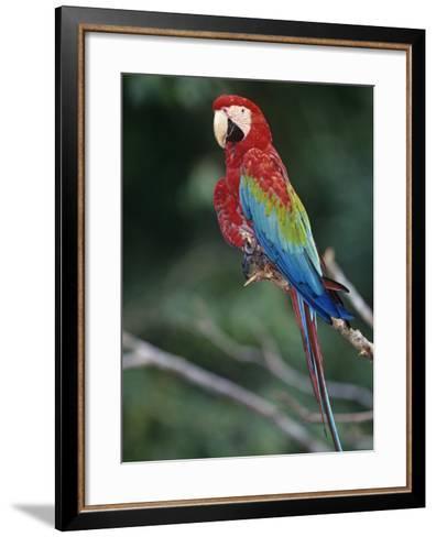 Red-And-Green Macaw, Amazon Rainforest, Amazonas, Brazil, South America-Arthur Morris-Framed Art Print