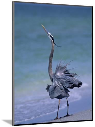 Great Blue Heron Threat Display, Ardea Herodias, North America-Arthur Morris-Mounted Photographic Print