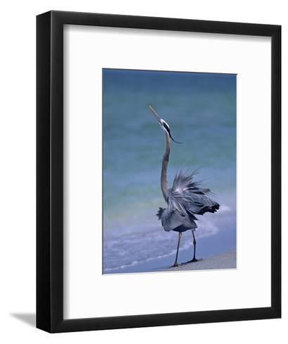 Great Blue Heron Threat Display, Ardea Herodias, North America-Arthur Morris-Framed Art Print