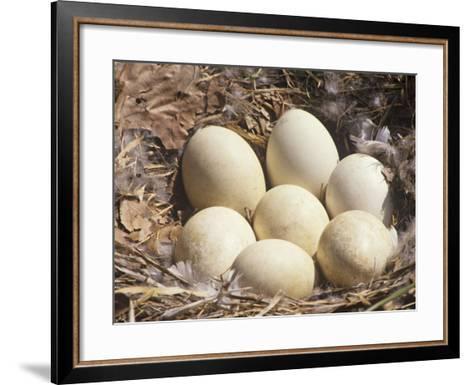 Canada Goose Nest with Seven Eggs, Branta Canadensis, North America-Derrick Ditchburn-Framed Art Print